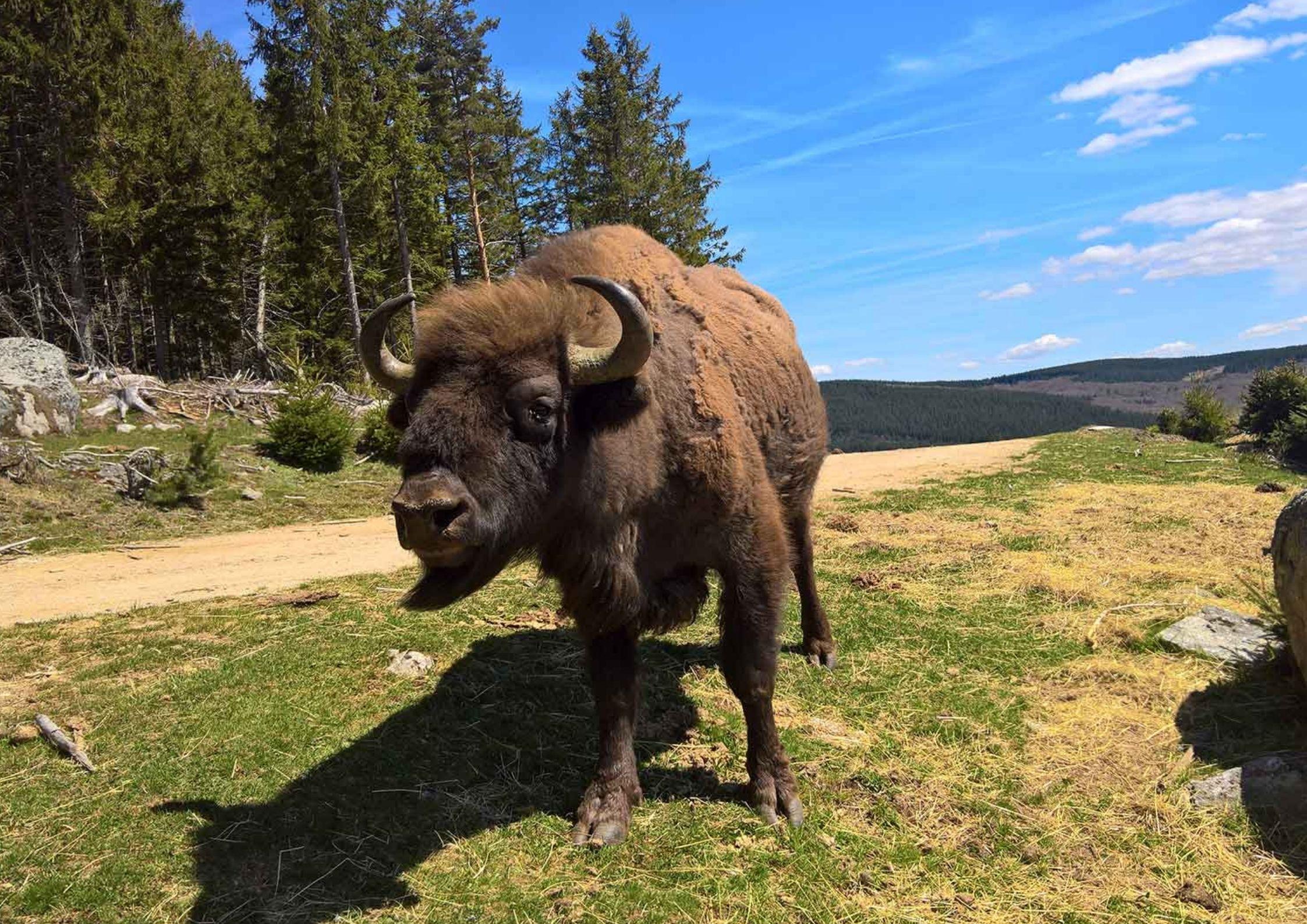 Activités autour de Chanac - Bisons d'Europe